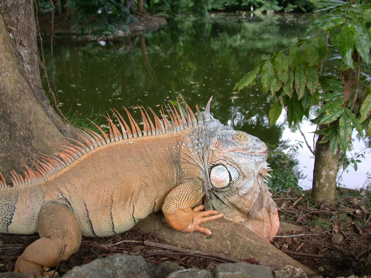 Care and Feeding of Iguanas