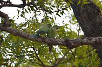 Halsbandsittiche - Parakeets