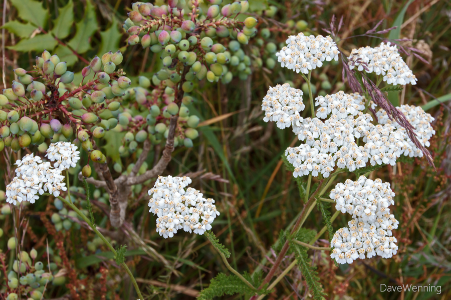 Yarrow (Achillea millefolium) with Oregon Grape