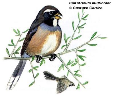 nido de Pepitero chico Saltatricula multicolor