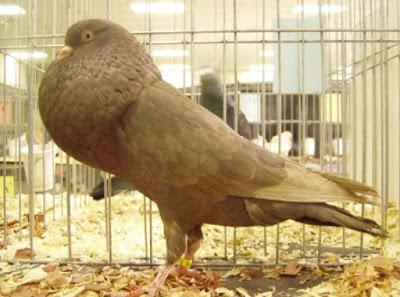 croppers - pigeons - Boulant Horseman