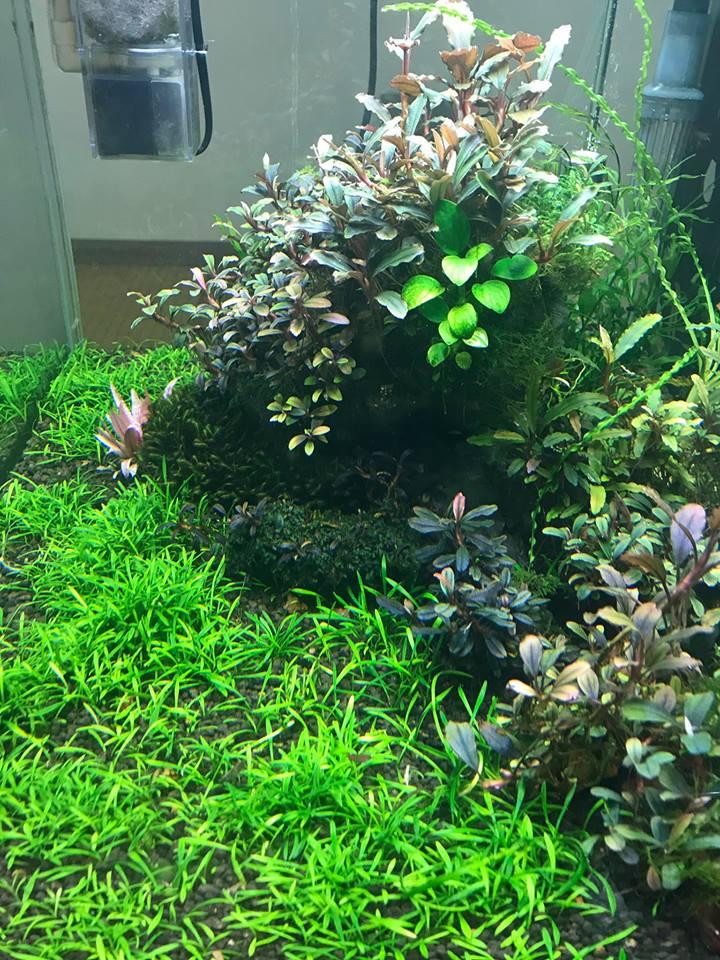 Phụ kiện thủy sinh - cây tiêu thảo Parva làm thảm cỏ