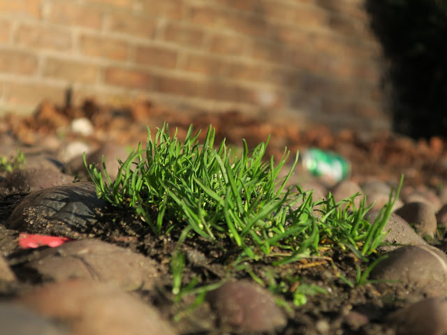 Grass growing on rounded cobbles.
