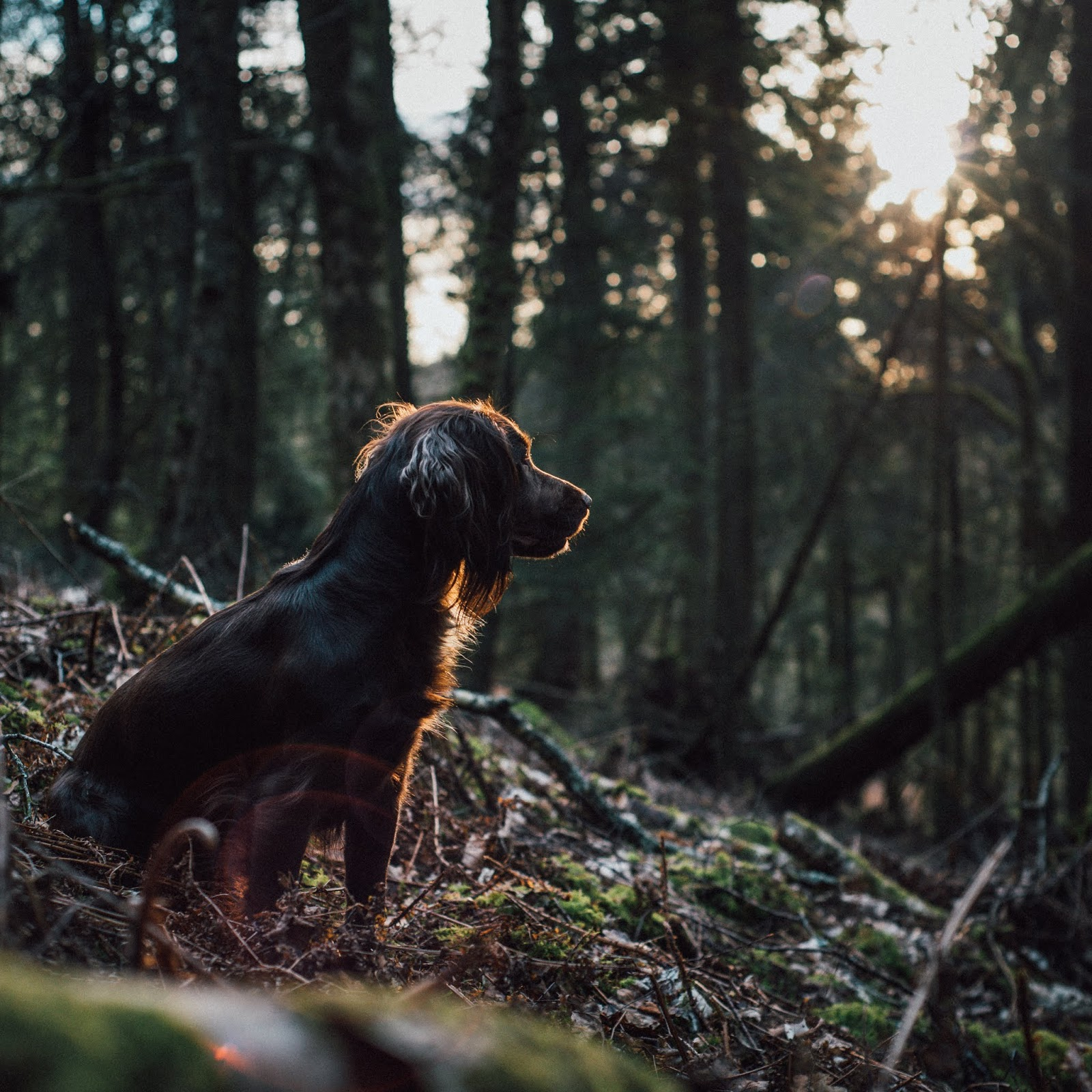 cocker spaniel golden hour gun dog liquidgrain liquid grain