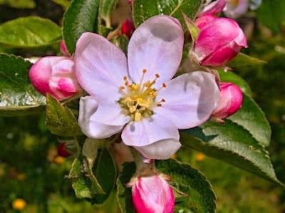 Καλλιέργεια μηλιάς