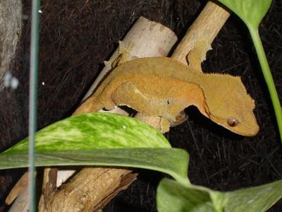 sind geckos einzelgänger