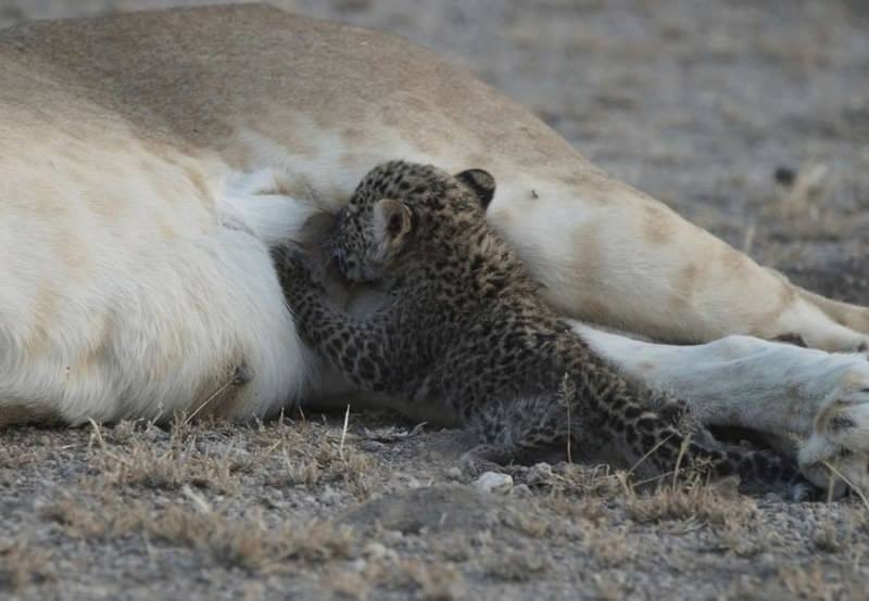 Strange: Lion seen feeding leopard cub in a Tanzanian wildlife