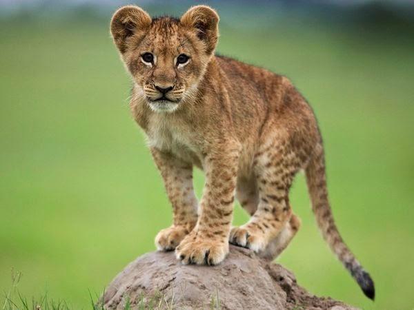 lion,lion cub,cub,lion cubs,lions,baby lion,white lion,cubs,baby lions,cute lions,misfit lion cub,cute,lion attack,lion vs,rare white lion cub,lion man,ion cub,cute lion,lion vs buffalo,lion cub documentary,lion (animal),cub lion,animals,lions cubs,lion whisperer,cute lion cubs,lion whisperer tv,nature,lion cubs playing,tiger cub,lion hunt,hyena cub,baby,lion sanctuary,lion babies,lion cubs documentary