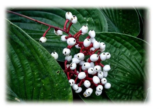 Plantas venenosas - Erva de São Cristóvão (Actaea Pachypoda)