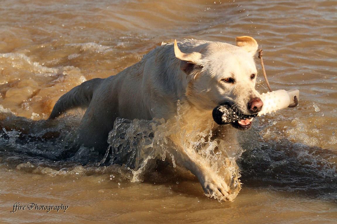 labrador championship show 2018 may 12 13 australian dog lover
