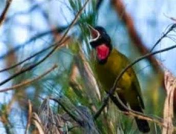 Cara Merawat Burung Samyong Agar Cepat Berbunyi Berkicau Dan Gacor Hobi Si Petani
