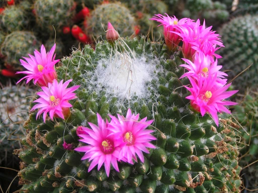 Mulheres SÃo Como Flores: Arteterapia &Poesia: Mulher: Flor De Cacto (Grupo