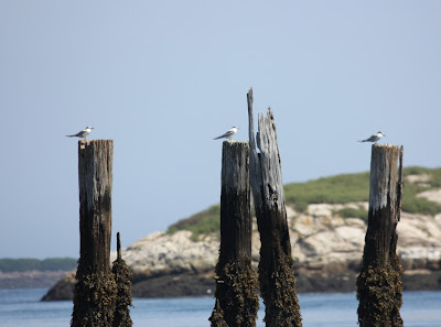 shore birds at popham beach, maine