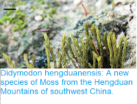 http://sciencythoughts.blogspot.co.uk/2016/09/didymodon-hengduanensis-new-species-of.html