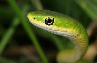 Soñar con serpiente verde