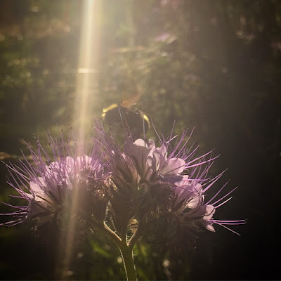 Image of bee on Bee's Friend flower with sunrays.