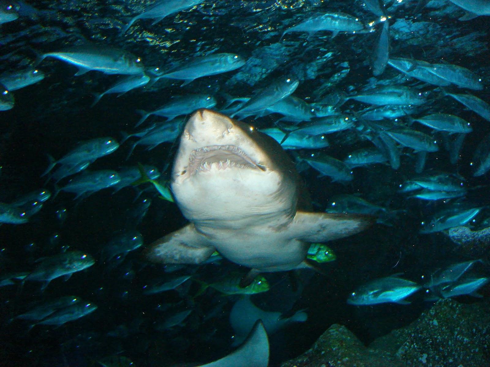 föder alla hajar levande ungar