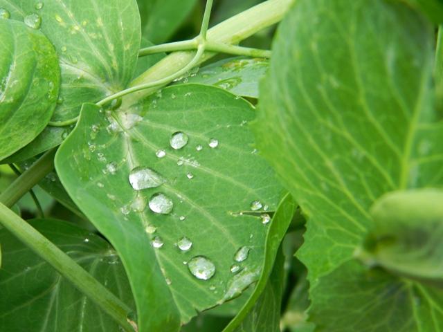 zielone, woda, ogród, warzywa
