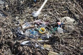 Albatross carcass and marine debris