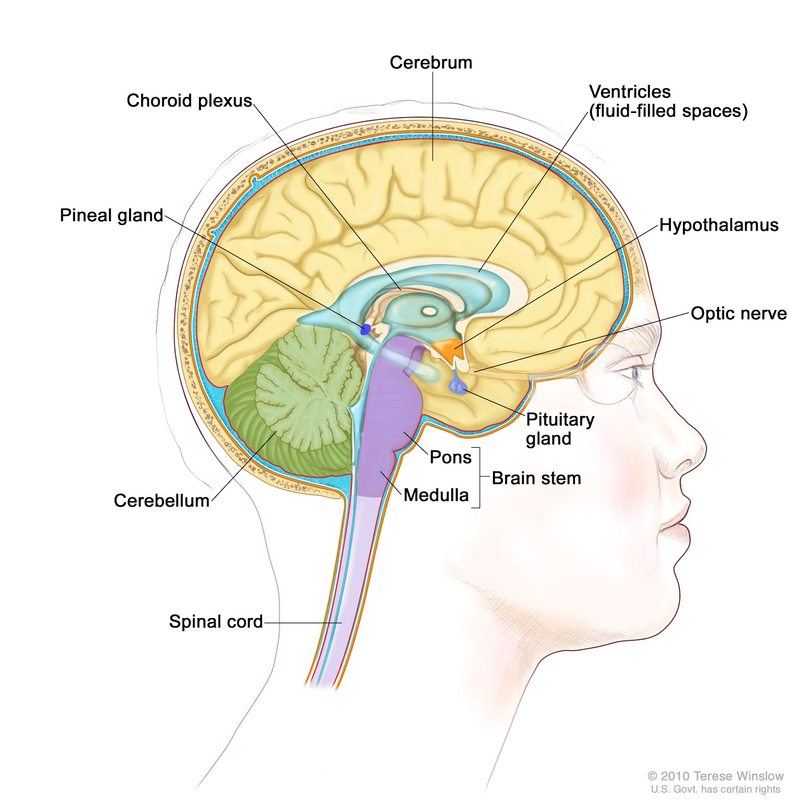 The APOGEE Forum: There's a lot more to the pineal gland ...