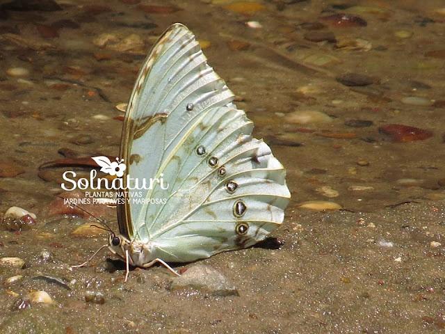 Morpho epistrophus mariposa Bandera Argentina