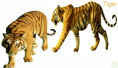 tiger, tiger and tigress