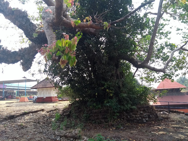 Temple, Crocodile, Ficus
