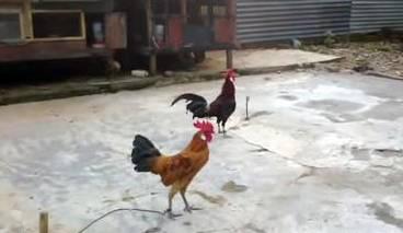 Ayam Burgo, Ayam Khas Provinsi Bengkulu Yang Berkokok Merdu