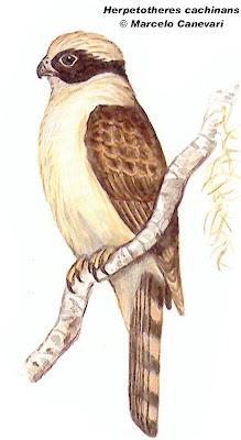 Halcón reidor Herpetotheres cachinnans