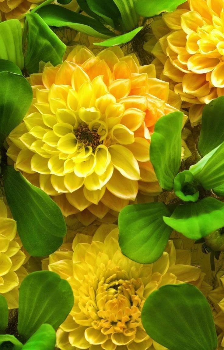 yellow dahlia flower - photo #11