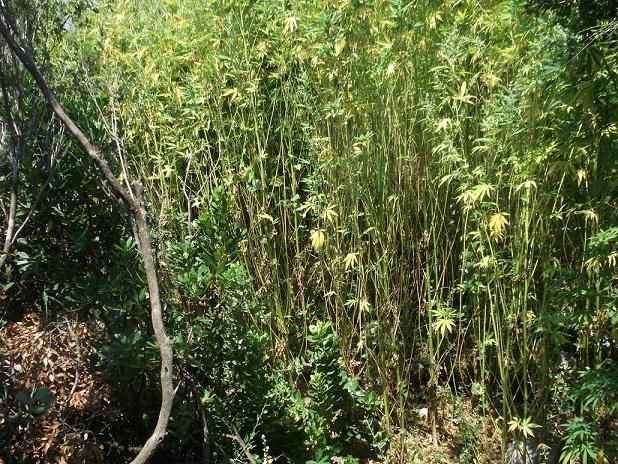 Εντοπίστηκαν δύο φυτείες κάνναβης στη Μεσσηνία με 1.543 δενδρύλλια