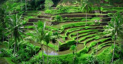 hijaunya sawah terasering ubud bali