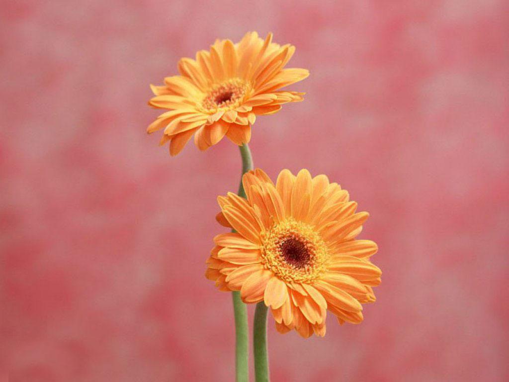 Imagenes De Fondo Flores Para Pantalla Hd 2: Flowers For Flower Lovers.: Daisy Flowers HD Desktop