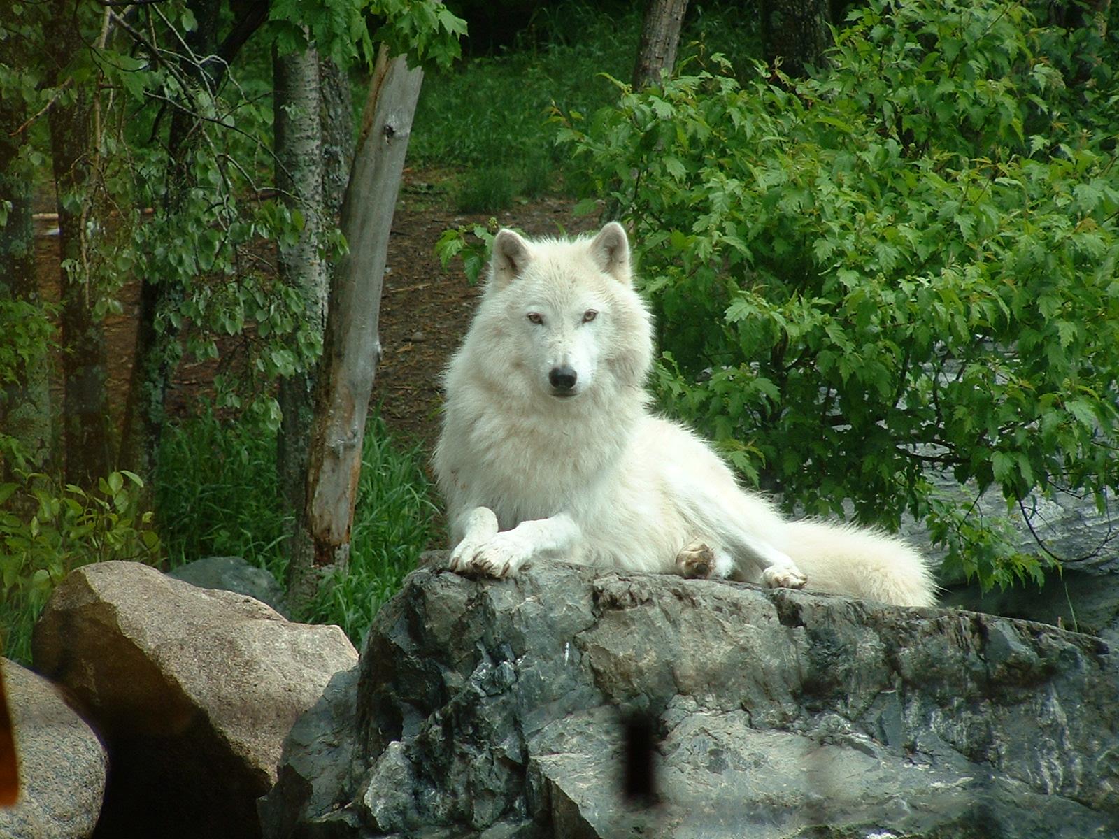 Livelifelike March 31 Ve Life Like A White Wolf