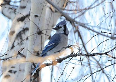 Blue jay en el Canadá