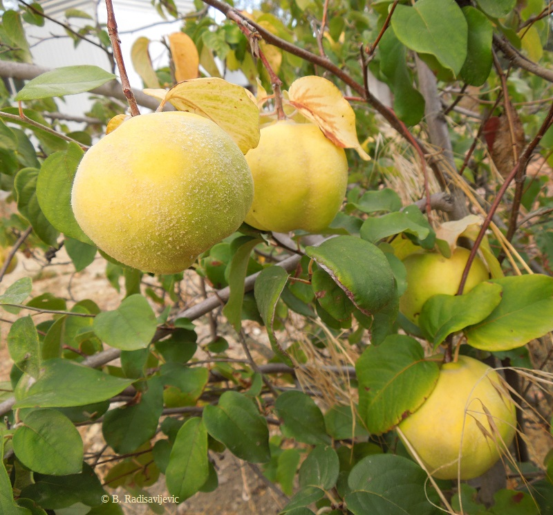 Autumn  Brings Apples, Walnuts, and Quince