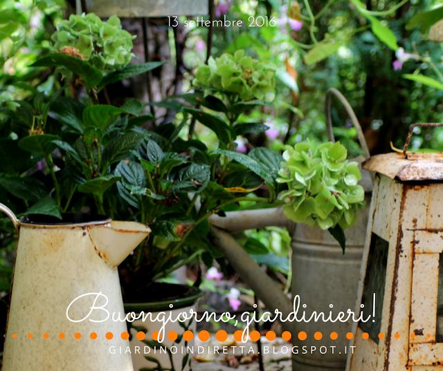 ortensia (hydrangea macrophilla) - il giardino dalla A alla Z -  i fiori della settimana - un giardino in diretta