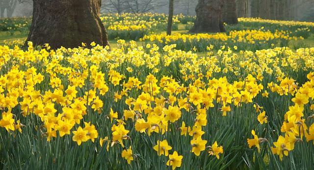 Beautiful light shining through a host of golden daffodils In St James's Park