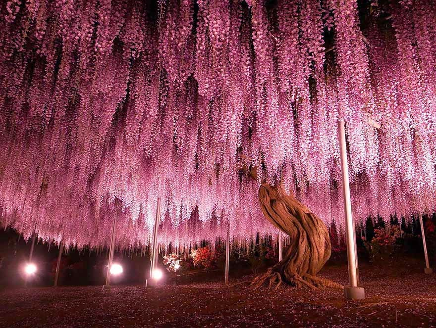 #2. The 144-year-old Wisteria in Japan - 16 Of The Most Magnificent Trees In The World.