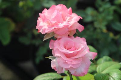 Bunga Mawar Rumah Bunga Neisha
