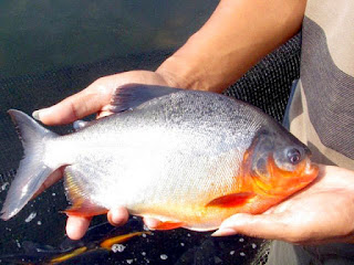 Umpan-Ikan-Bawal-Paling-Jitu