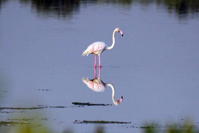 Greater Flamingo - BPS