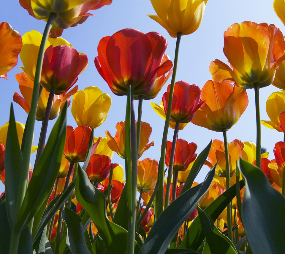 Flowers For Flower Lovers.: Tulip Flowers Hd Desktop