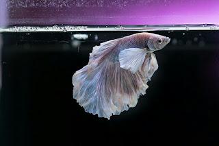 Ikan Hias Aquarium Mini Cupang