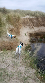 Puppies exploring the dunes