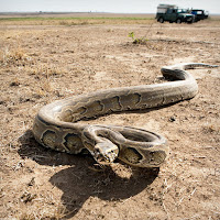 Gerçek bir piton yılanı