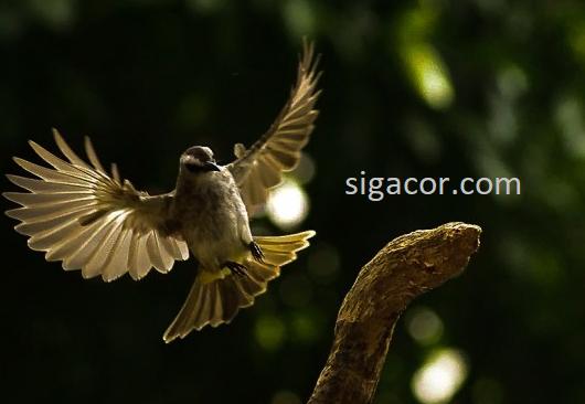 Cara Cepat Burung Trucukan Ombyokan Makan Voer Total