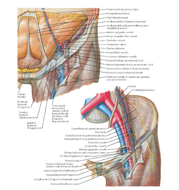 Femoral Sheath and Inguinal Canal Anatomy
