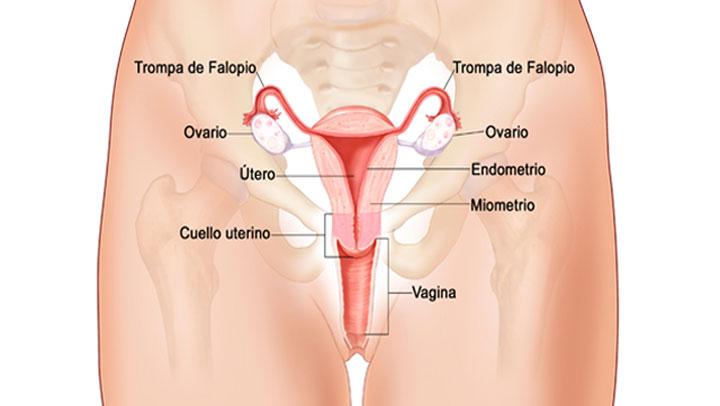 Aprender Ciencias O Corpo Feminino Por Dentro