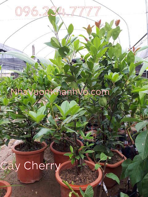 Đăng tin rao vặt: Tại sao nên trồng cây cherry trong khuôn viên nhà? Cay-cherry-khanh-vo-8